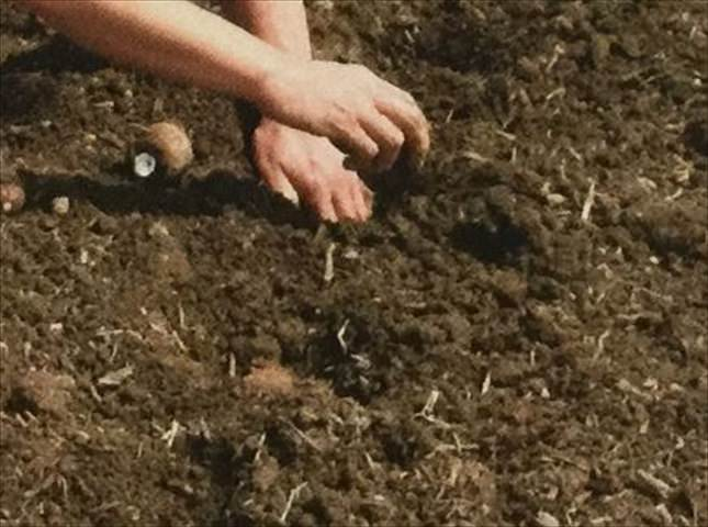 植え 里芋 方 の